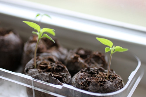 Growing Chili Peppers from Seed
